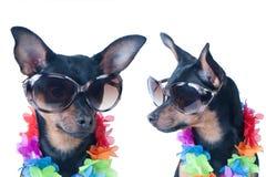 Pies, szczeniak w Hawajskim stylu odizolowywającym Turysta, podróżnik Obraz Stock