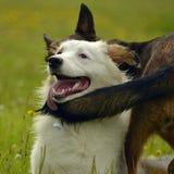 Pies sztuka z each inny Młody australijski pasterski pies aussies Wesoło wrzawa szczeniaki agresywny pies Trenować psy Szczeniaki obrazy stock