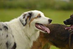 Pies sztuka z each inny Młody australijski pasterski pies aussies Wesoło wrzawa szczeniaki agresywny pies Trenować psy Szczeniaki obrazy royalty free
