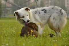 Pies sztuka z each inny Młody australijski pasterski pies aussies Wesoło wrzawa szczeniaki agresywny pies Trenować psy Szczeniaki fotografia stock
