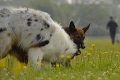 Pies sztuka z each inny Młody australijski pasterski pies aussies Wesoło wrzawa szczeniaki agresywny pies Trenować psy Szczeniaki zdjęcia stock