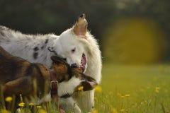 Pies sztuka z each inny Młody australijski pasterski pies aussies Wesoło wrzawa szczeniaki agresywny pies Trenować psy Szczeniaki obraz royalty free