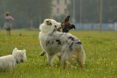 Pies sztuka z each inny Młody australijski pasterski pies aussies Wesoło wrzawa szczeniaki agresywny pies Trenować psy Szczeniaki zdjęcie royalty free