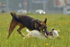 Pies sztuka z each inny Młody australijski pasterski pies aussies Wesoło wrzawa szczeniaki agresywny pies Trenować psy Szczeniaki zdjęcie stock