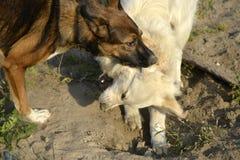 Pies sztuka z each inny tła psi szary labradora szczeniaka tyły aporteru widok obrazy stock