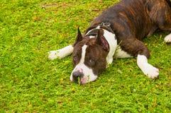 Pies teriera zakończenie Zdjęcie Stock