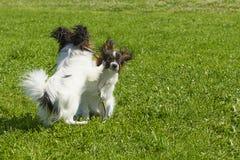 Pies teriera zakończenie Obraz Royalty Free