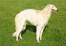 pies thoroughbred borzoi fotografia royalty free