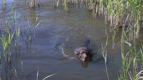 Pies trakenów drathaar pływania w jeziorze zbiory wideo