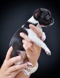 Pies Traken - chihuahua Fotografia Royalty Free