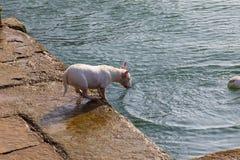 Pies traken miniatury Bull Terrier sekwencja kilka fotografie obraz stock