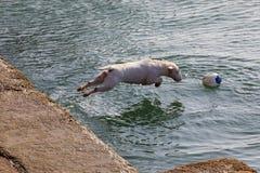Pies traken miniatury Bull Terrier sekwencja kilka fotografie zdjęcia stock