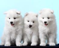 Pies Traken - Samoyeds Zdjęcia Stock