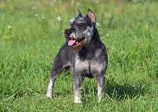 Pies traken Zwergschnauzer Fotografia Royalty Free