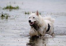 Pies trakenu husky kąpać się w jeziorze Zdjęcie Stock