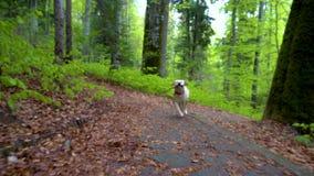 Pies trakenu Labrador Retriever odprowadzenie przez lasowego Steadicam gimbal strzału Brown blondynki psa szczeniak biega w halny zbiory wideo