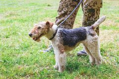 Pies trakeny lisa terier na smyczu obok swój owner_ obrazy stock