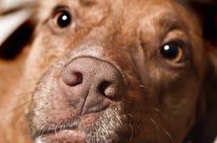 Pies twarz Zdjęcia Stock