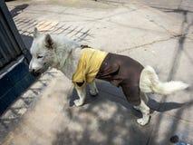 Pies ubierający w opiekunie odziewa zdjęcie stock