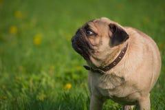 Pies w łące obrazy royalty free