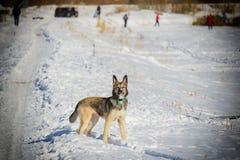 Pies w śniegu obrazy stock