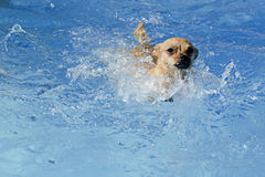 Pies w basenie Zdjęcie Stock