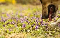 Pies wącha purpurowych kwiaty na gazonie Zdjęcia Stock