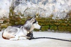 Pies w chińskiej wiosce Obrazy Royalty Free