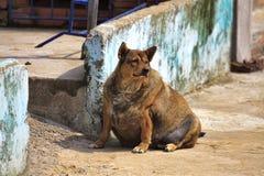 pies w ciąży Gęsty pies obraz stock