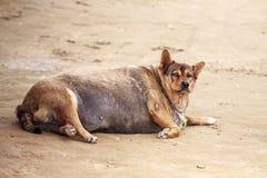 pies w ciąży Gęsty pies fotografia royalty free