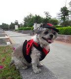 Pies w czarcim kostiumu jest podróżny Obrazy Royalty Free