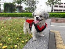 Pies w czarcim kostiumu podróżuje Fotografia Stock