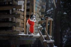 Pies w czerwonym szaliku przy drewnianym domem rabatowego collie zima Zwierzę domowe przy spacerem obrazy royalty free