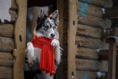 Pies w czerwonym szaliku przy drewnianym domem rabatowego collie zima Zwierzę domowe przy spacerem fotografia royalty free