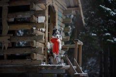 Pies w czerwonym szaliku przy drewnianym domem rabatowego collie zima Zwierzę domowe przy spacerem fotografia stock