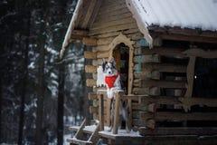 Pies w czerwonym szaliku przy drewnianym domem rabatowego collie zima Zwierzę domowe przy spacerem obraz royalty free