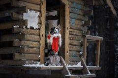 Pies w czerwonym szaliku przy drewnianym domem rabatowego collie zima Zwierzę domowe przy spacerem zdjęcia royalty free
