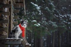 Pies w czerwonym szaliku przy drewnianym domem rabatowego collie zima Zwierzę domowe przy spacerem zdjęcie royalty free