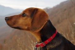 Pies w górach patrzeje odległego krajobraz Zdjęcie Royalty Free