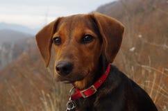 Pies w górach patrzeje odległego krajobraz Zdjęcie Stock