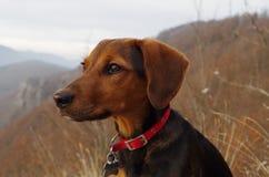 Pies w górach patrzeje odległego krajobraz Obraz Royalty Free