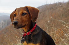 Pies w górach patrzeje odległego krajobraz Zdjęcia Royalty Free