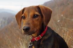 Pies w górach patrzeje odległego krajobraz Obrazy Stock