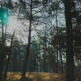 Pies w iglastym lesie Zdjęcia Royalty Free