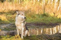 Pies w jedlinowym lesie Fotografia Royalty Free