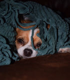 Pies w koc Zdjęcia Royalty Free