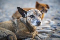 Pies w kolonialnym okręgu Trinidad, Kuba obraz stock