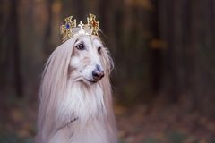 Pies w koronie, charty afgańscy, obrazy stock