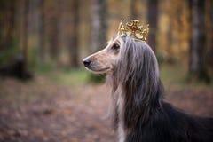Pies w koronie, charty afgańscy zdjęcia royalty free