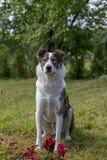 Pies w lato ogródzie Fotografia Stock
